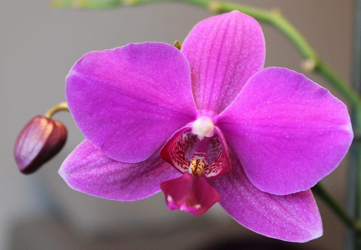 Pink Orchid - Photo by Colin McDermott
