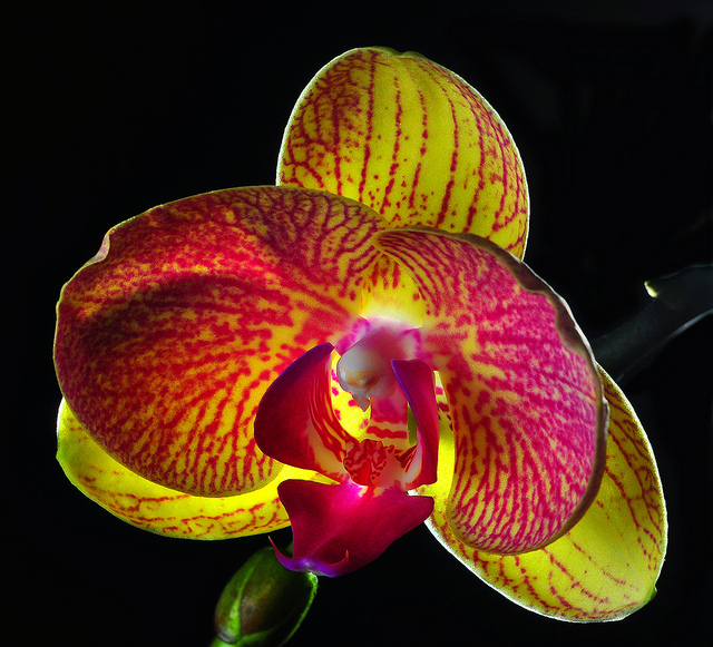 Orchid with backlighting - Photo by Bill Gracey