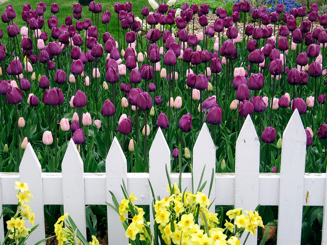 White Picket Fence, Daffodils and Tulips - By Rachel Kramer
