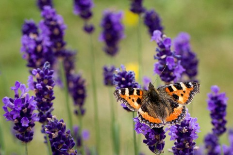 5 Ways To Create A Relaxing Garden - Lavender & Butterfly