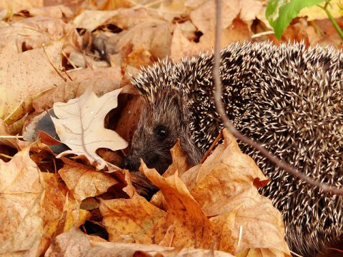 Prepare Your Garden For Winter – Take Advantage Of Autumn - Hedgehog In Autumn Leaves - Image By Dration Flickr