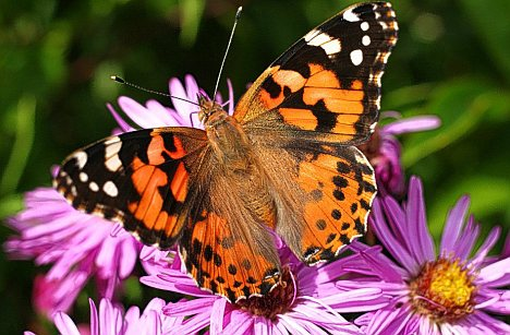 Keeping Your Garden Lush And Green in 2016 - Image From DailyMail.co.uk - Butterfly