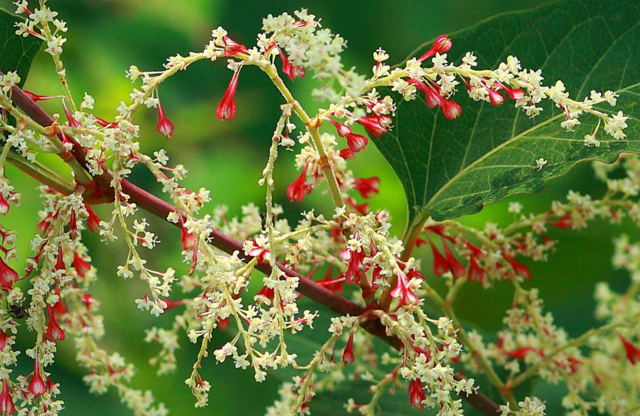 Trying to Get Rid of Japanese Knotweed Will Tie You Up in Knots
