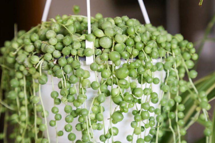 Senecio Rowleyanu – String of Pearls