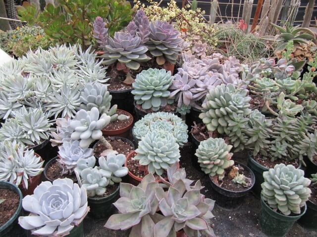 The purple at the back center is Echeveria Perle von Nurnberg The purple at the front might be Graptoveria Fred Ives The bulbous light blue below and to the right of the Dudleya is probably Pachyphytum Oviforum The purple below and to the right of the E. Perle von Nurnberg looks like Graptopetalum Superbum.