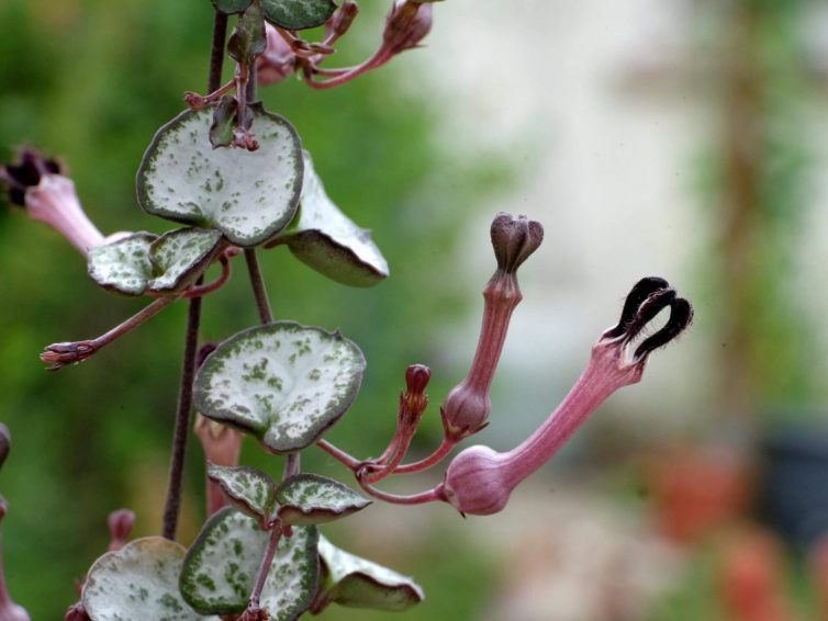 Ceropegia woodii flower