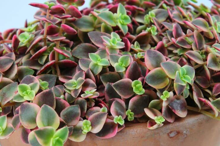 Crassula marginalis