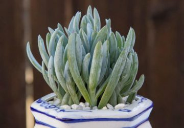 Senecio serpens Blue Chalk Sticks