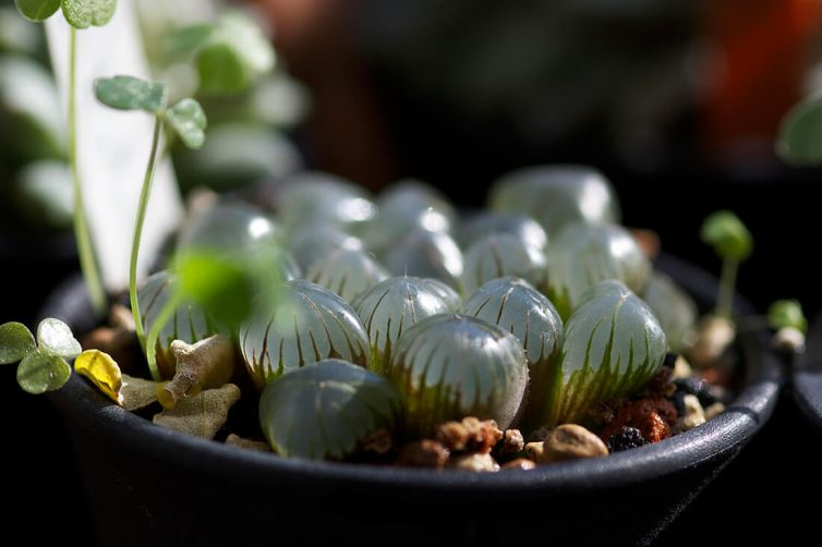 Haworthia cooperi var. trucnata ex-Dodson collection