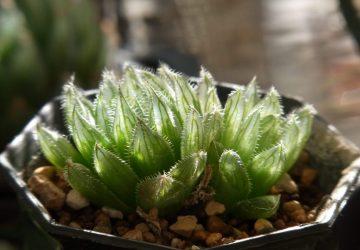 Haworthia cooperi var.gordoniana