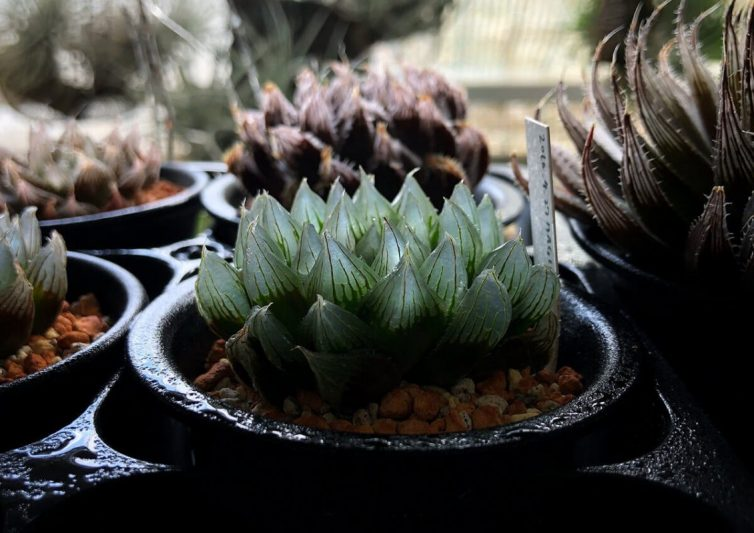 Haworthia stayneri