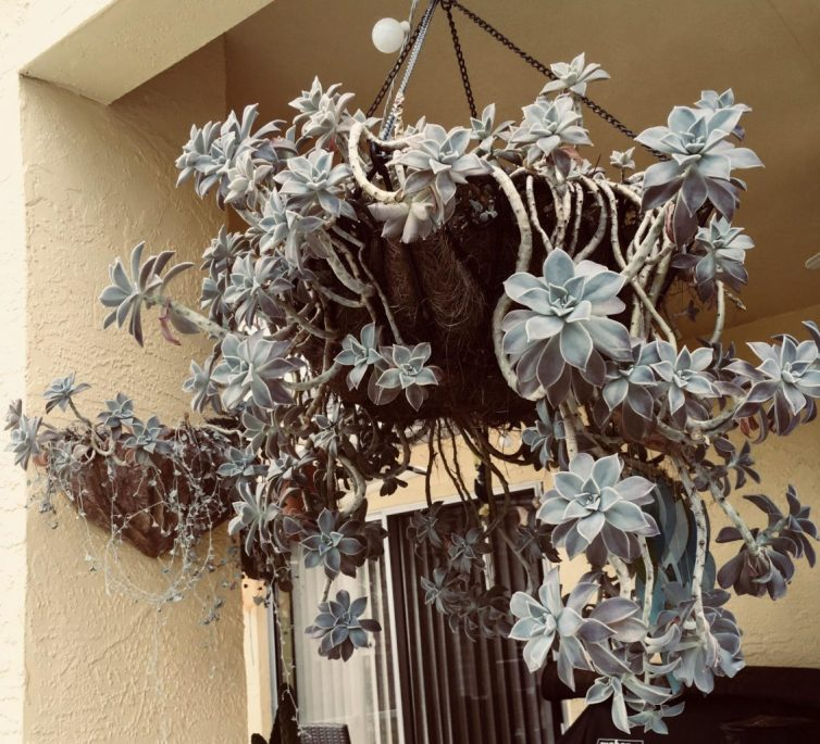 Ghost plant hanging basket
