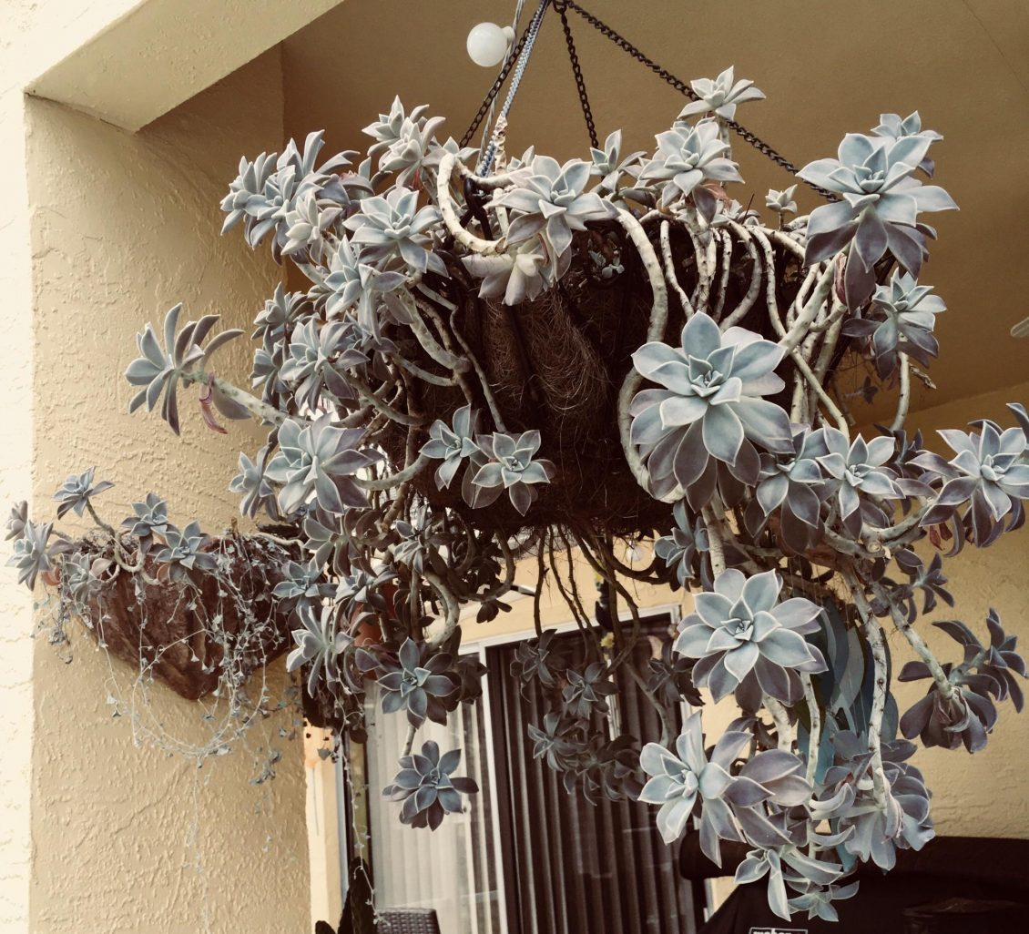 Ghost Plant Graptopetalum Paraguayense Gallery