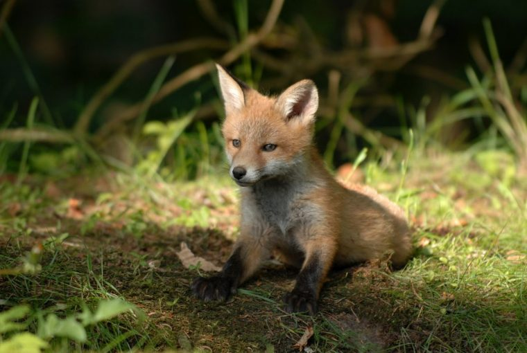 How To Help Animals Recover From The Summer Wildfires - Fox Cub