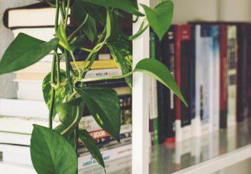 Pothos / Devil's Ivy