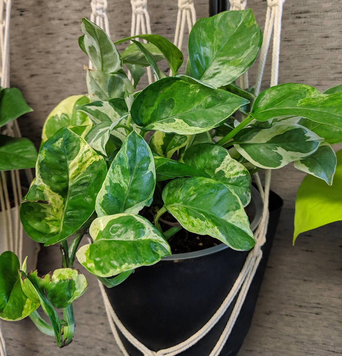 pearls-and-jade-1 Different Types Of House Plants Ffenbachia on