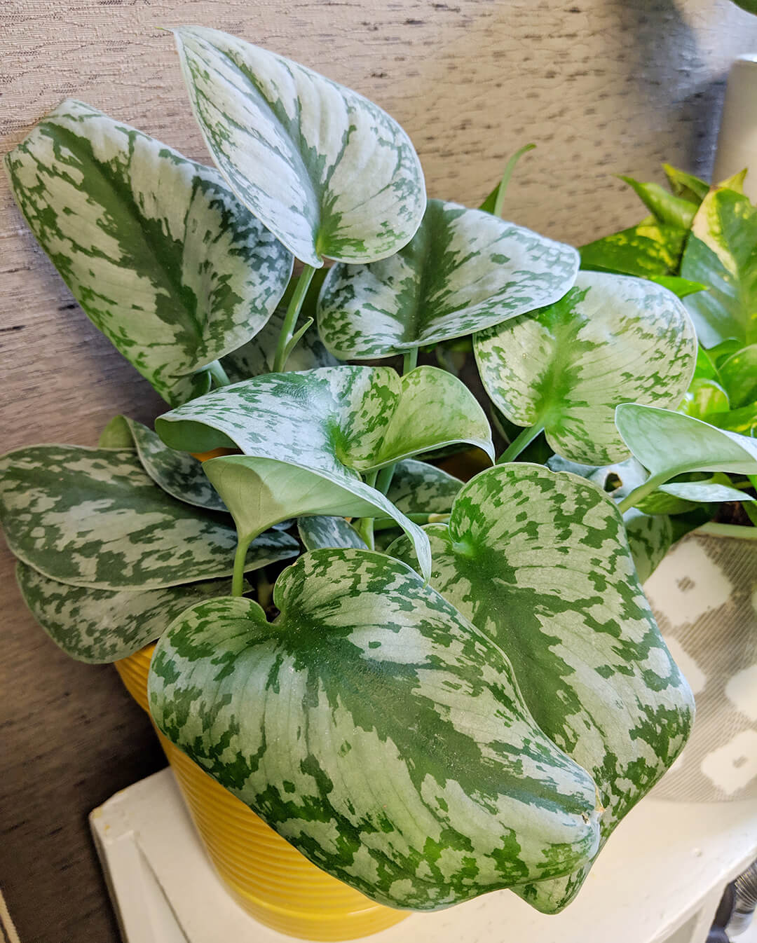 Types Of Pothos Plant Identification Guide