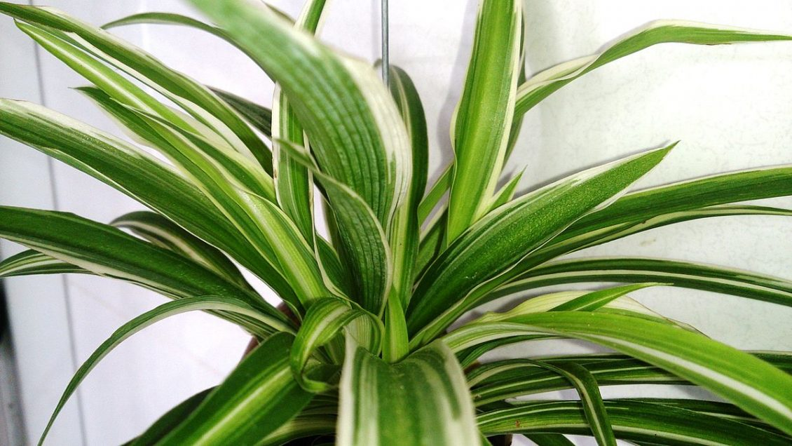 Easy Ways To Improve The Indoor Air Quality Of Your Home - Spider Plant