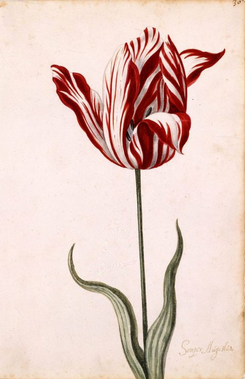 Botanic Luxury: The 5 Most Expensive Flowers In The World - Semper Augustus_Tulip - 17th century