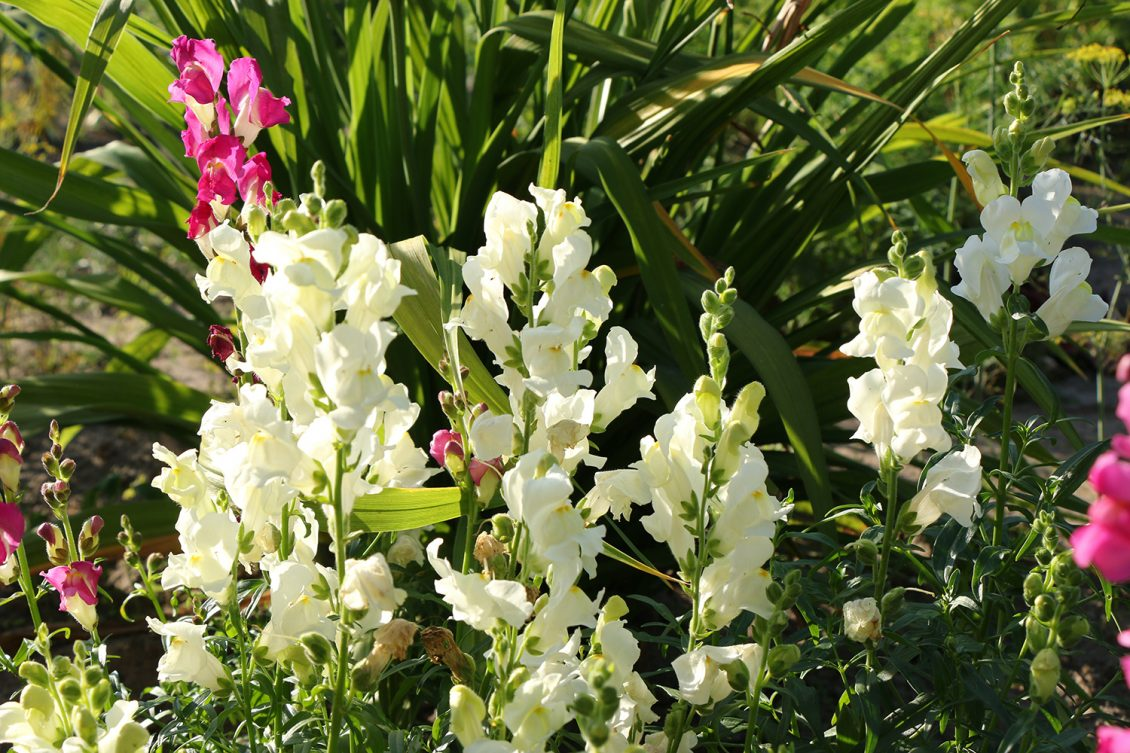 Snapdragons in garden