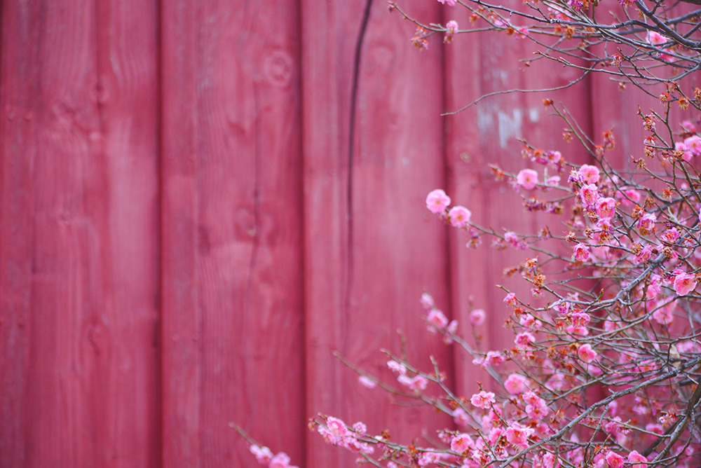 Pink painted fence