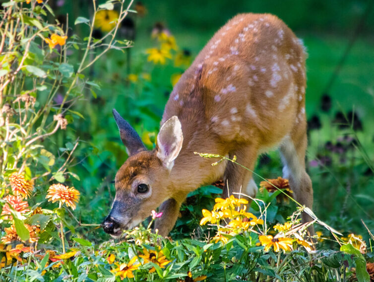 Young white tailed deer fawn in garden