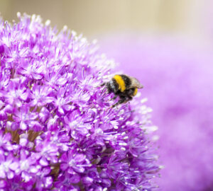 Allium Bulbs, Purple Flowered Plants, Bee friendly plants.