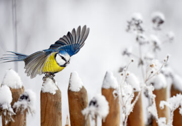 Blue Tit landing on a snow-covered wooden garden fence