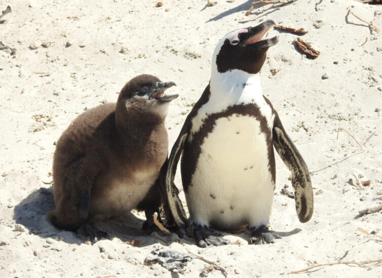 African Penguins (Spheniscus demersus) at Boulders Beach - Photo By Andrew Tisley (https://andrewtilsley.wixsite.com/artwork)