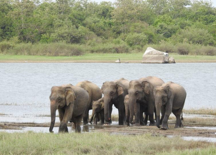 Asian Elephants (Elephas maximus) at Minneriya - Photo By Andrew Tisley (https://andrewtilsley.wixsite.com/artwork)