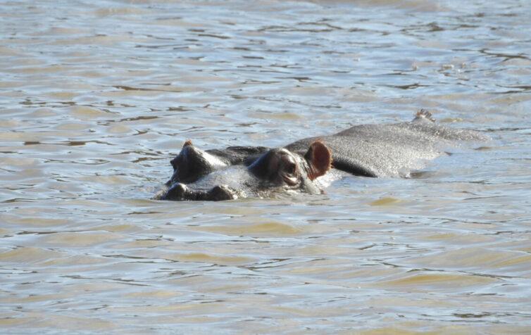 Hippopotamus (Hippopotamus amphibius) at Rondevlei Nature Reserve - Photo By Andrew Tisley (https://andrewtilsley.wixsite.com/artwork)