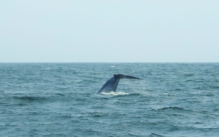 Blue Whale (Balaenoptera musculus) off Mirissa - Photo By Andrew Tisley (https://andrewtilsley.wixsite.com/artwork)