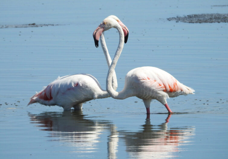 Greater Flamingos (Phoenicopterus roseus) at Strandfontein - - Photo By Andrew Tisley (https://andrewtilsley.wixsite.com/artwork)