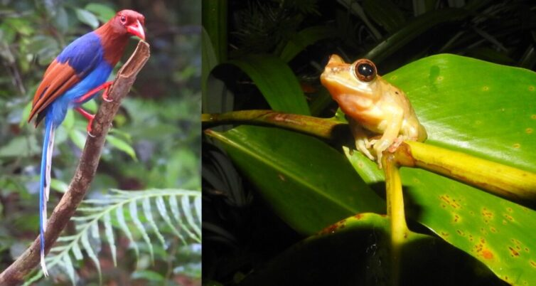 Sri Lanka Magpie (Urocissa ornata) and Labungama Shrub Frog (Pseudophilautus abundus) in the rainforest at Sinharaja - - Photo By Andrew Tisley (https://andrewtilsley.wixsite.com/artwork)