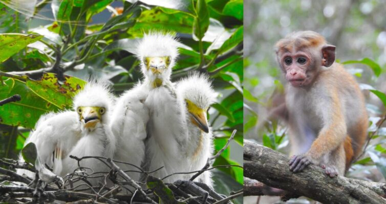 Intermediate Egret chicks (Ardea intermedia) at Lake Bogambara and Toque Macaque (Macaca sinica) at Udawatta Kele, Kandy - Photo By Andrew Tisley (https://andrewtilsley.wixsite.com/artwork)