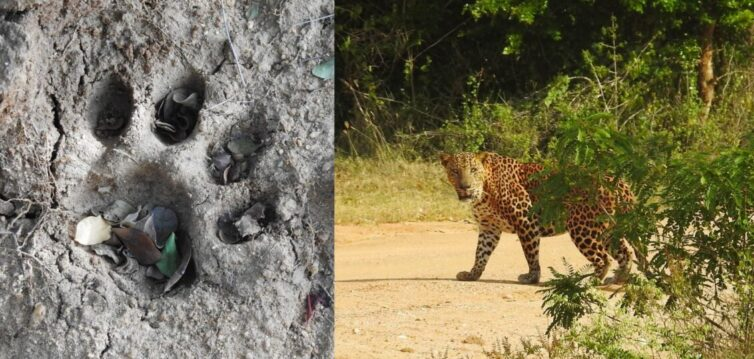 Leopard (Panthera pardus) at Yala National Park - Photo By Andrew Tisley (https://andrewtilsley.wixsite.com/artwork/photography)