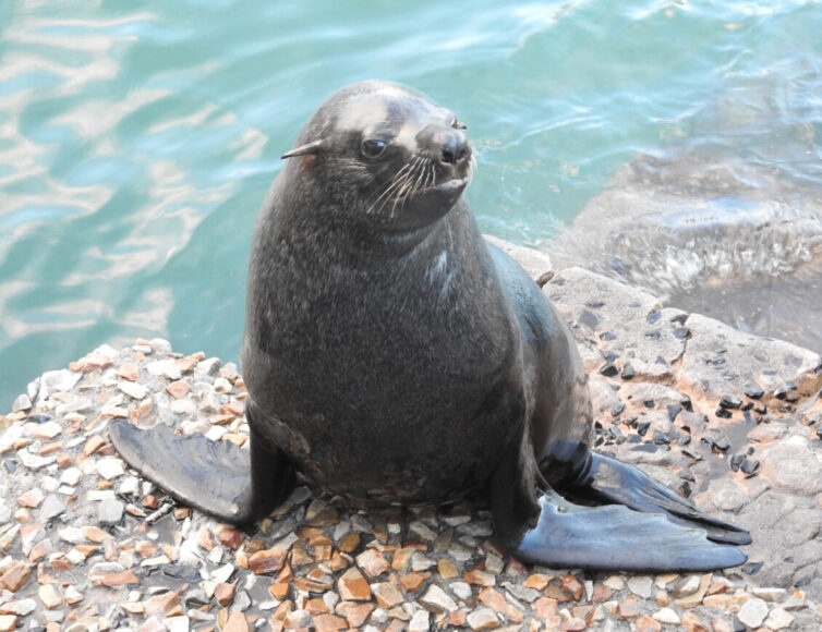 Cape Fur Seal (Arctocephalus pusillus) at Kalk Bay - Photo By Andrew Tisley (https://andrewtilsley.wixsite.com/artwork)