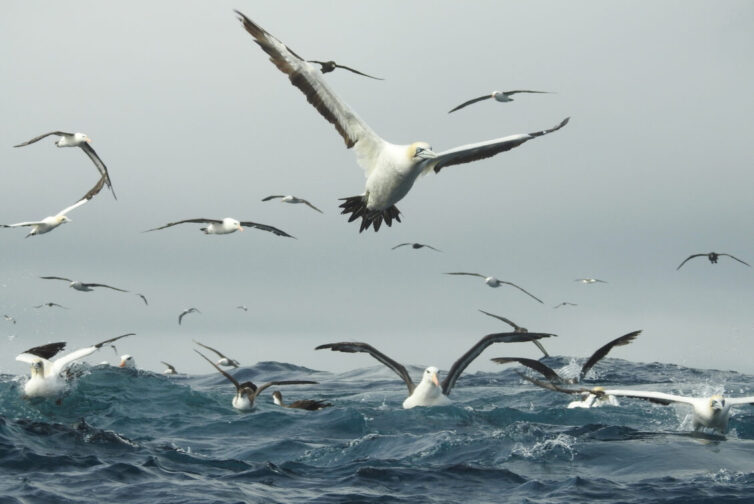 Cape Gannets (Morus capensis), Black-browed Albatrosses (Thalassarche melanophris) and Great Shearwaters (Ardenna gravis) off Cape Town - Photo By Andrew Tisley (https://andrewtilsley.wixsite.com/artwork)