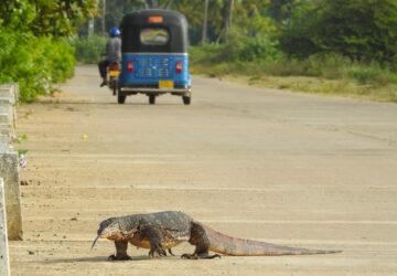 Traffic stopped by giant lizard - Water Monitor (Varanus salvator) in Tissa, Sri Lanka - Photo By Andrew Tisley (https://andrewtilsley.wixsite.com/artwork/photography)