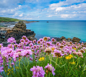 Pink sea thrift flowers on the sea coast Cornwall