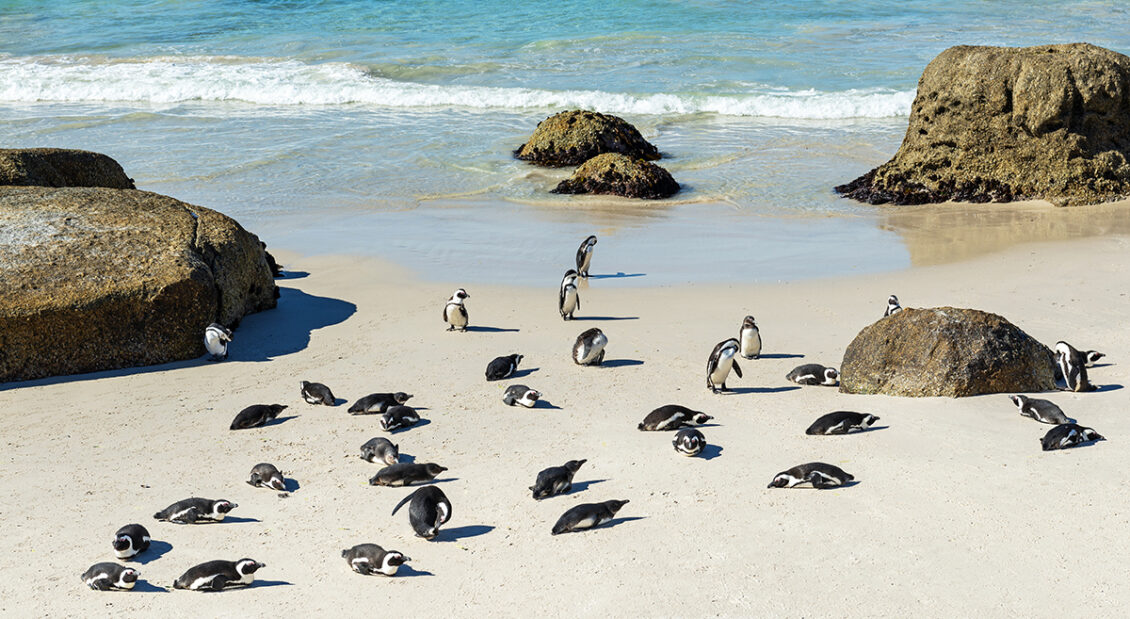 Rock boulders and African or Jackass Penguins (Spheniscus Demersus) on the famous Boulder Beach Cape town, South Africa. - Image by SL-photography via Adobe Stock