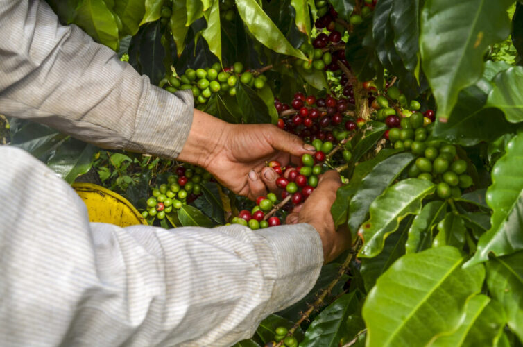 colombian farmer picking ripe coffee beans by hand.