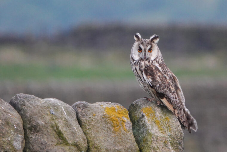 Long-eared Owl (Asio otus) - Image By Andrew Tilsley Photo By Andrew Tisley (https://andrewtilsley.wixsite.com/artwork/photography)