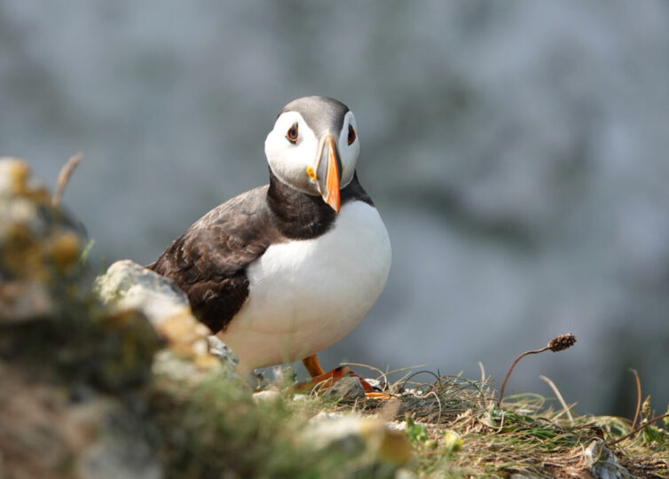 Puffin (Fratercula arctica) at Bempton Cliffs Image By Andrew Tilsley Photo By Andrew Tisley (https://andrewtilsley.wixsite.com/artwork/photography)
