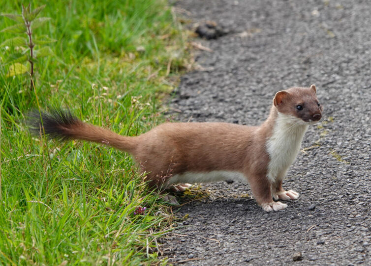 With patience, Stoat (Mustela erminea) can be seen at St Aidan's. Image By Andrew Tilsley Photo By Andrew Tisley (https://andrewtilsley.wixsite.com/artwork/photography)