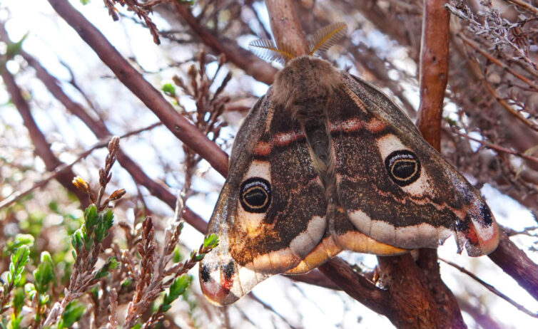 The spectacular Emperor Moth (Saturnia pavonia) inhabits moorland sites in the Peak District. Image By Andrew Tilsley Photo By Andrew Tisley (https://andrewtilsley.wixsite.com/artwork/photography)