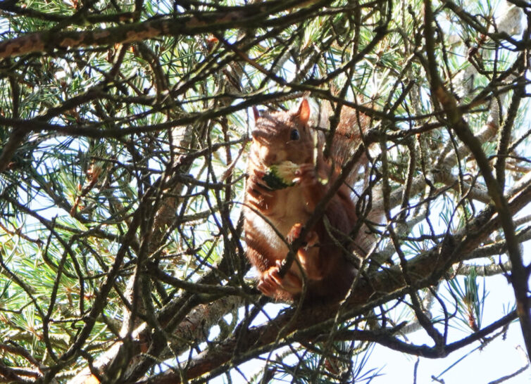 Red Squirrel (Sciurus vulgaris) at Formby. Image By Andrew Tilsley Photo By Andrew Tisley (https://andrewtilsley.wixsite.com/artwork/photography)
