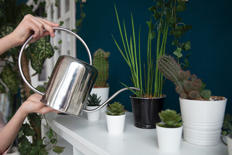 Watering succulents with metal watering can