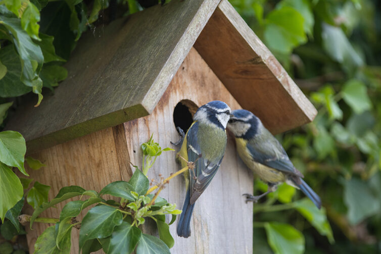 Bird box with a pair of blue tits
