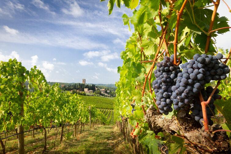 Vineyard landscape with black grape vine in Tuscany, Italie